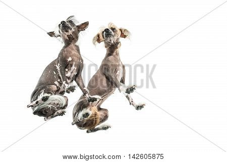 Couple of chinese crested dogs stand in the studio on the white background. Photographed from below. Horizontal.