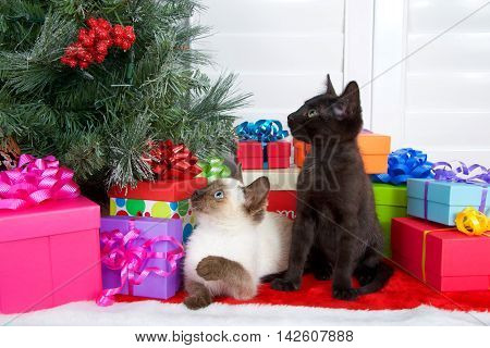 Siamese kitten laying on ground paw up to bat at tree black kitten sitting looking at Christmas tree colorful presents under tree on red fur tree skirt. Novelty of the holiday