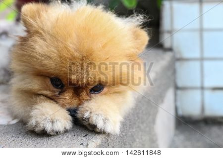 Sadness pomeranian dog was waiting for his owner.