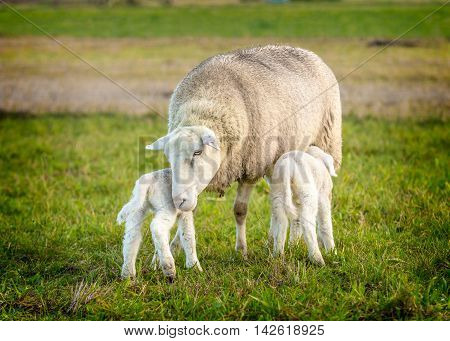 a sheep and two lambs in a grassy field