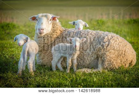 sheep and thee lamb in the grass