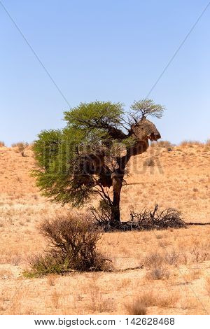 African Masked Weaver Nest On Kgalagadi