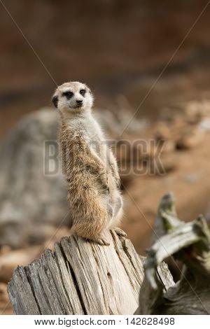 african mammal meerkat or suricate watching out for danger