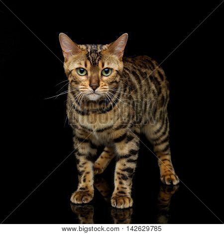 Portrait of beautiful bengal cat staring at something. Studio shot over black background. Copy space. Square composition.