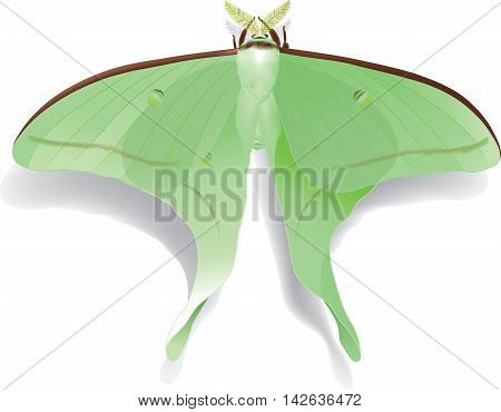 Vector illustration of beautiful butterfly Artemis isolated on white