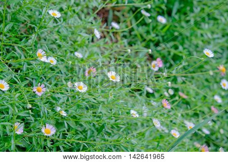the natural dasies flower and green grass