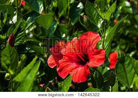 Beautiful red hibiscus flower on the bush