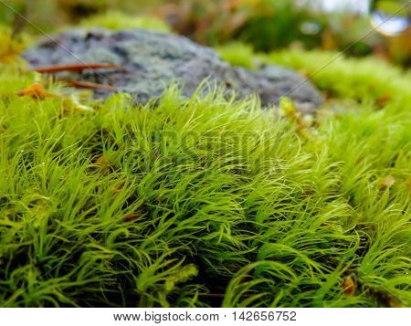 Moss grows on large boulders. The moss plant covering. Soft plant of the North. Beautiful nature of planet Earth.