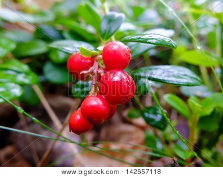 Cranberries growing  rich in vitamins. Berries for making jam or sweet syrup.