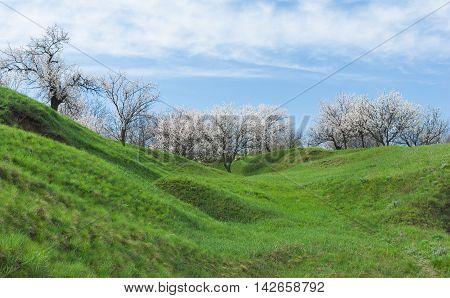 Ukrainian spring landscape in apricot tree flowering time