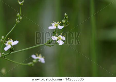 Flower of a European water plantain (Alisma plantago-aquatica) poster
