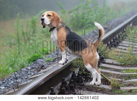 Dog Beagle on a walk in the fog is on the rails