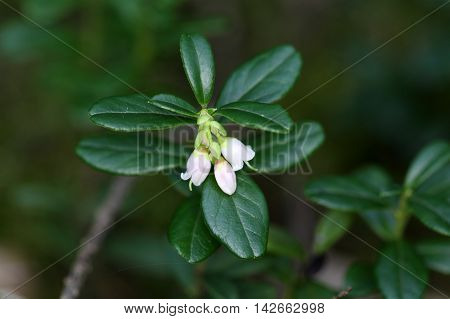 Flowers of a wild lingonberry (Vaccinium vitis-idea)