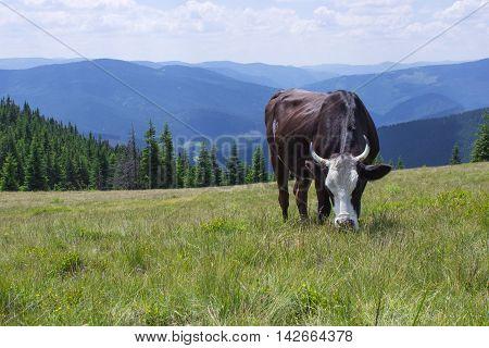 Cow grazing on a green summer alpine meadow
