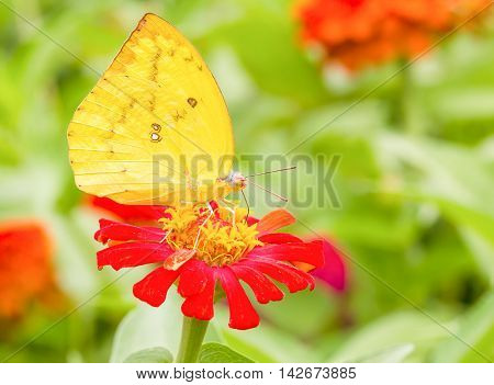 Colias Erate Butterfly On A Mexican Sunflower