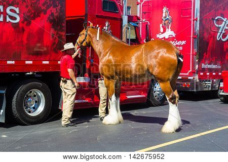 Lancaster PA - August 4 2016: One of the Clydesdale horses getting prepared to be hitched to the Budweiser wagon.
