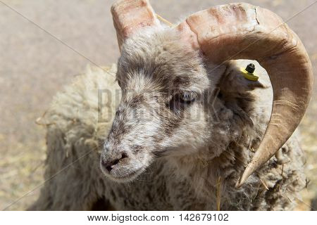 one young ram with large horns. photo
