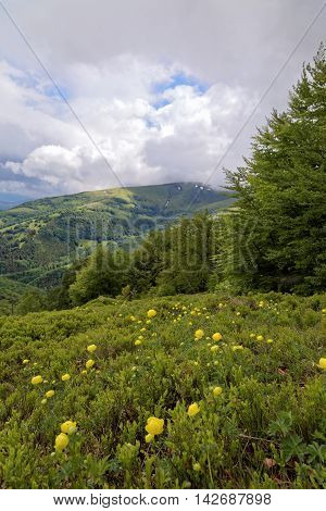 Meadow with yellow flowers in the mountains. Mountain landscape.