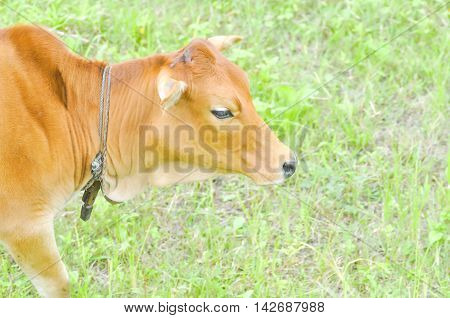 a brown cow on the green field