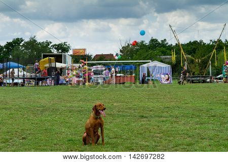 Perekhrest Ukraine - August 14. 2016: Dog Vizla waiting for his master on the grass during the first festival of hunters.