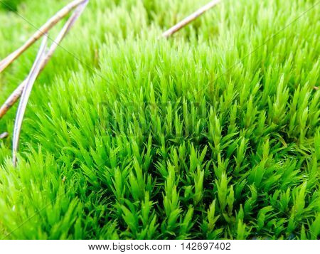 Moss green, fresh and lush. Plant the moss covering the stones. Soft plant of the  North.