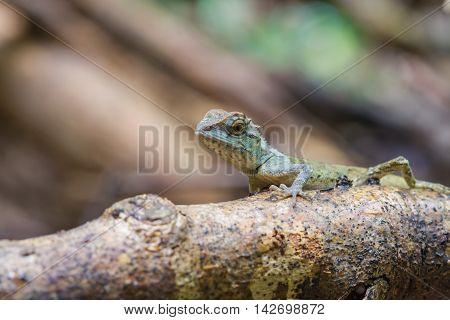 Green Crested Lizard, Black Face Lizard