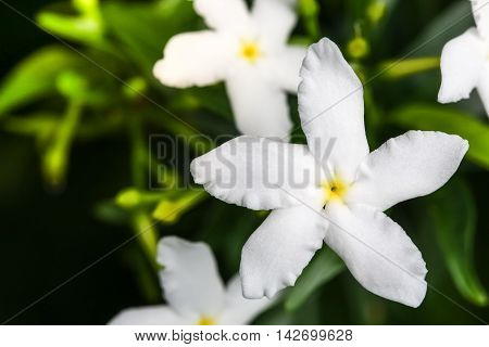 Close up top view of Ervatamia or Gardenia white flowers is blossom in the garden it have 5 lobe.