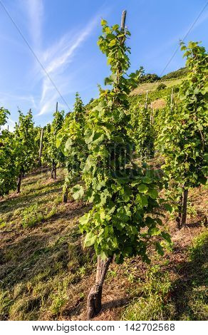 Grapevine with vines on the Moselle picture