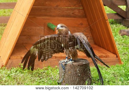 The black kite bird -in Latin Milvus migrans. Portrait of black kite bird in captivity. Black kite bird sitting on the perch and opening the wings out