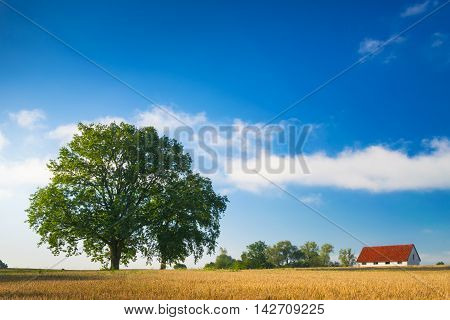 Cottage amid fields of cereals and oaks. Summer countryside landscape.
