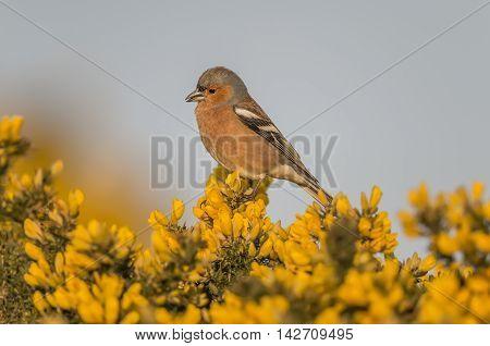Chaffinch Male Perched On A Gorse Bush