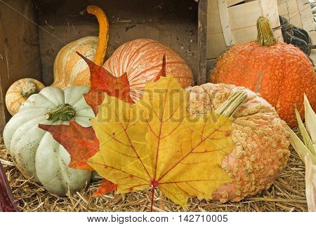 Sign of fall- pumpkins and maple leaves