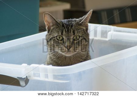 A cat sits in a empty packing box waiting for a treat.