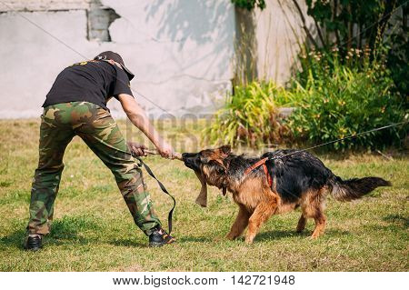 Gomel Belarus - July 23 2016: German shepherd dog training in Gomel Regional sports club and decorative dog-breeding. Biting dog. Alsatian Wolf Dog. Deutscher dog