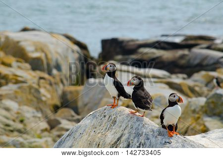 three Atlantic puffins standing on a rock side by side overlooking the ocean