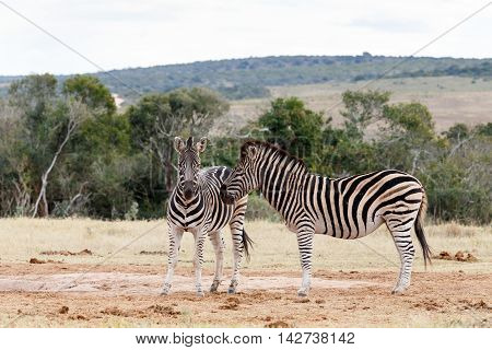 Look That Way -  Burchell's Zebra