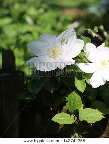 White flowers blooming at Springfield Botanical Gardens in Springfield Missouri