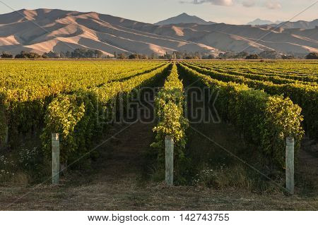 sunset over vineyards in Marlborough region in New Zealand