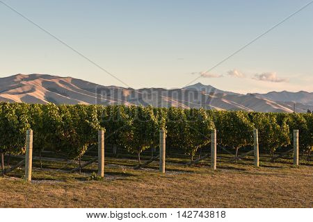 sunset over vineyards in Marlborough region, New Zealand