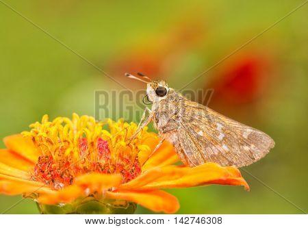 Female Sachem Skipper butterfly feeding on an orange Zinnia in summer garden