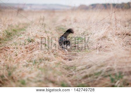 munchkin kitten outdoors. Black cat that walks by itself.