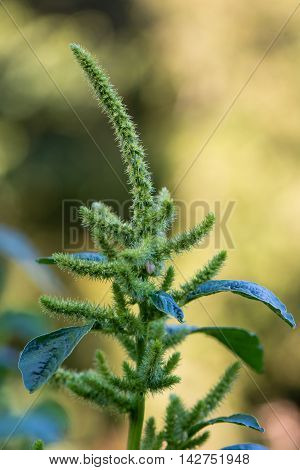 Green amaranth (Amaranthus hybridus) in flower. Plant in the family Amaranthaceae growing as an invasive weed in the UK