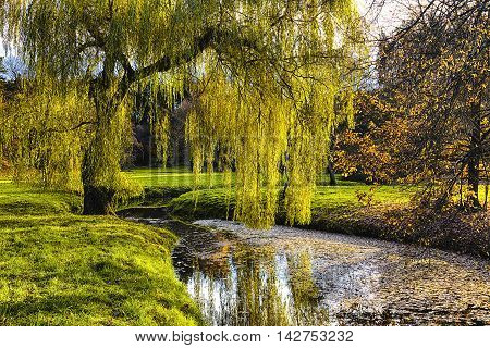Willow Tree By The Pond