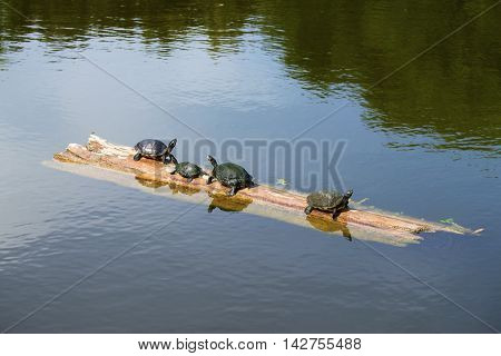 Four turtles on a log in North Carolina.