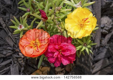 Three colorful flower blooms adorn this portulaca or moss rose plant.