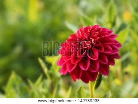 Red flower against background of leaves and grass.