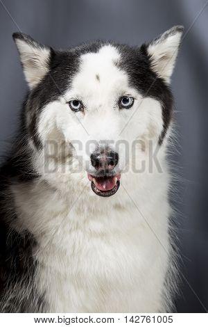 Cute Alaskan Malamute Husky breed dog standing and smiling.