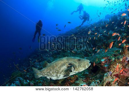 Scuba diving. Coral reef with puffer fish and scuba divers