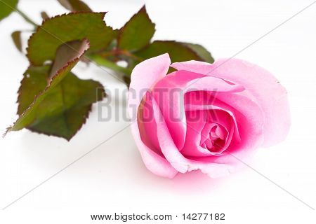 Single pink rose in vertical isolated
