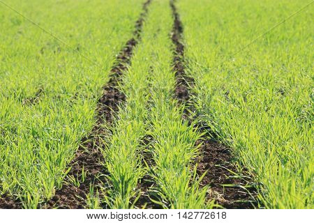 Young Green Shoots In The Field